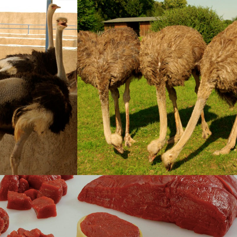 Ostrich Production in Germany – ecological way to economic success
