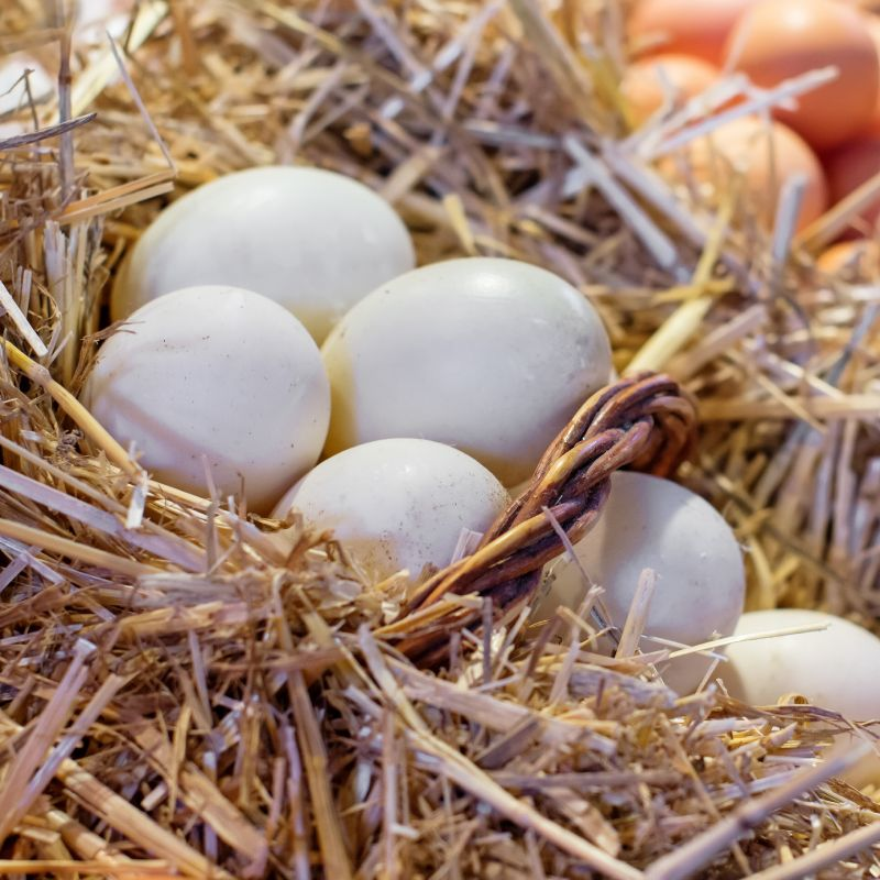 Layer type pullet rearing