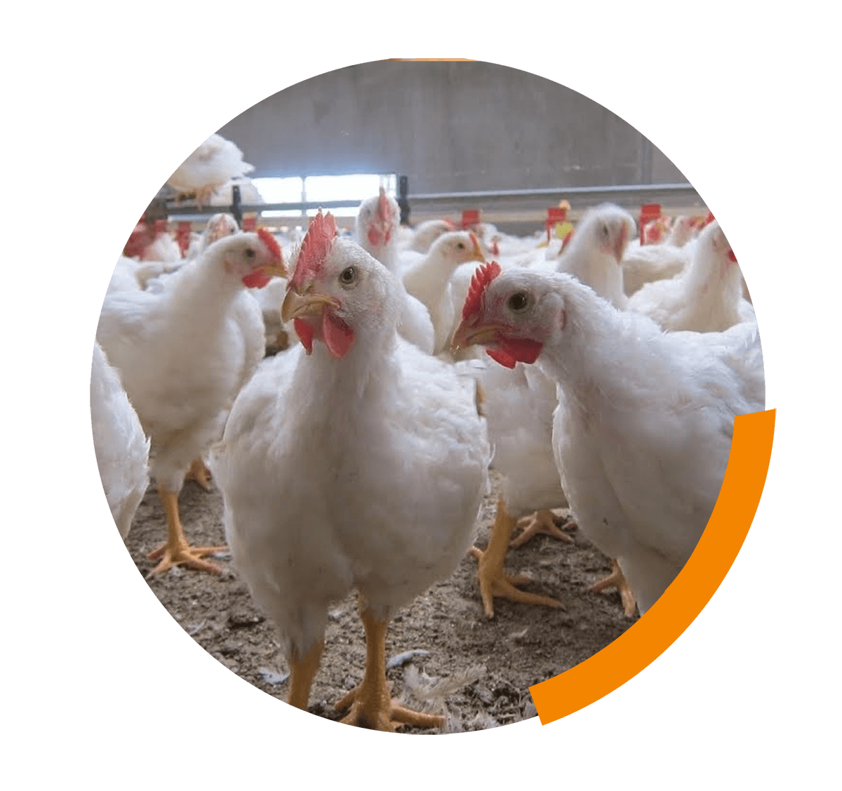Improvement of welfare in BROILERS and TURKEYS