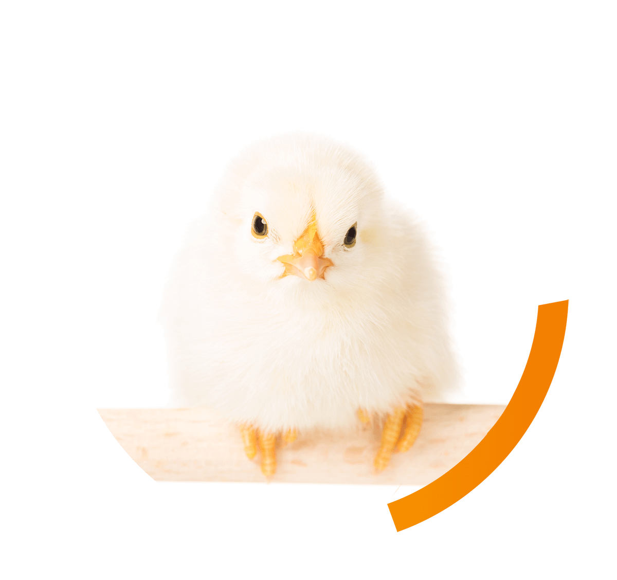 Do broilers benefit from elevated structures?