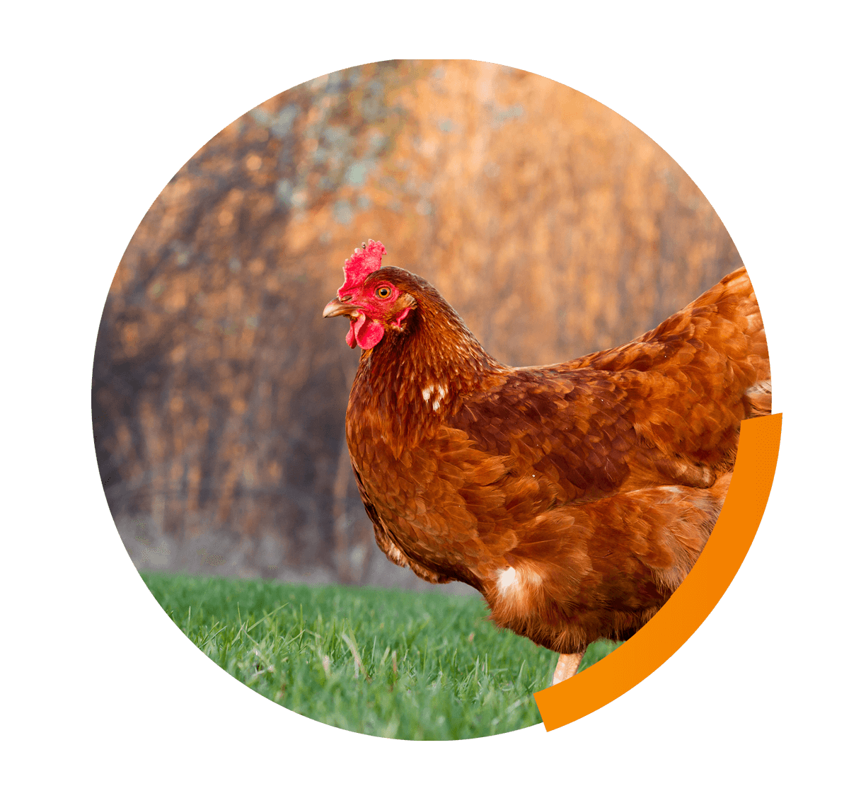 Assessing and improving poultry  welfare in commercial production systems