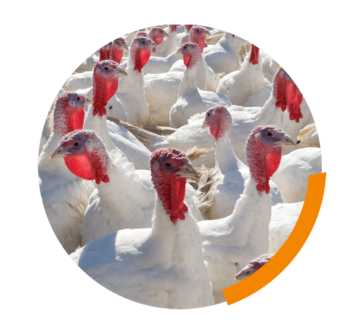 Enrichment for broilers and turkeys – from theoretical consideration to practical application